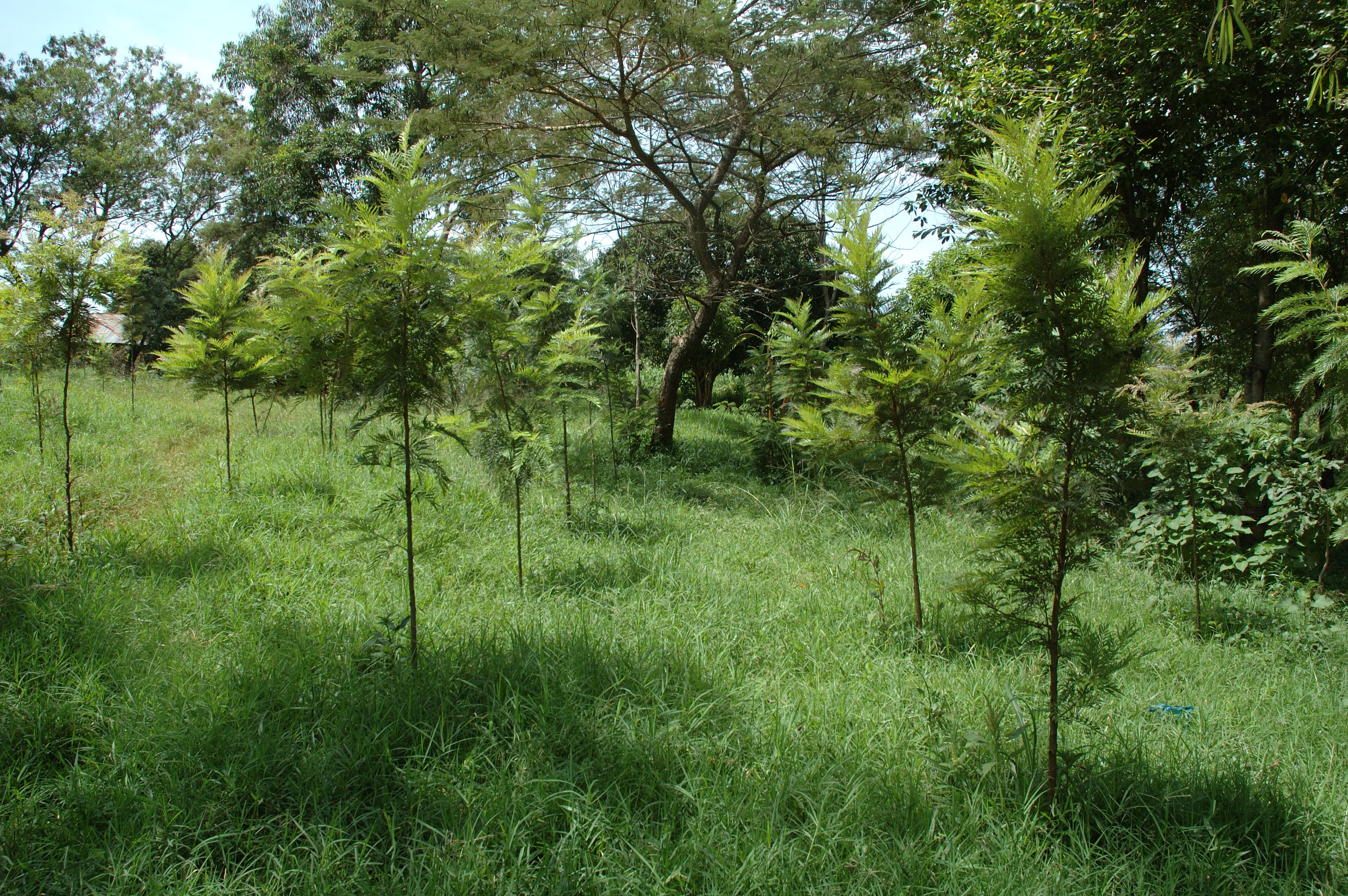 Grass growing among young tree plantation. Image copyrighted to ICRAF.