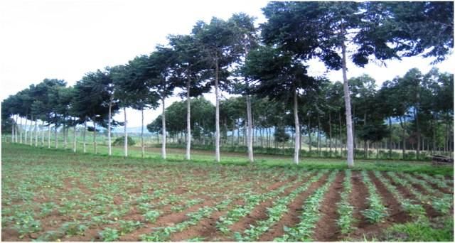 Musizi trees with string beans as alley crop. Photo: World Agroforestry Centre/Caroline Pinon