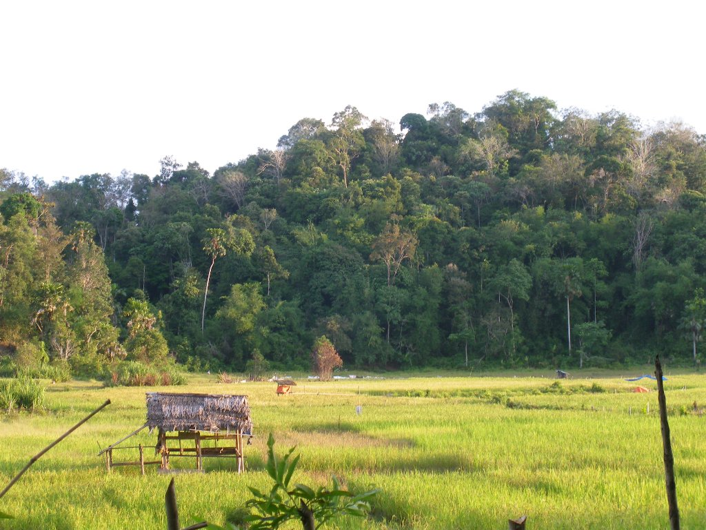 Old rubber plot and ricefield