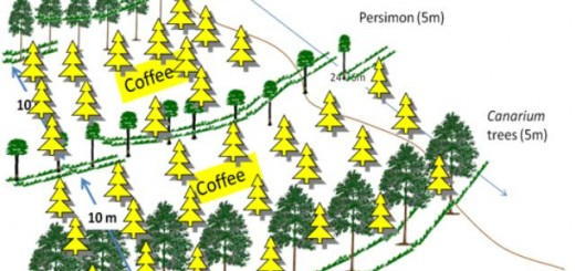 Canarium persimmon coffee system on sloping land, agroforest, Viet Nam