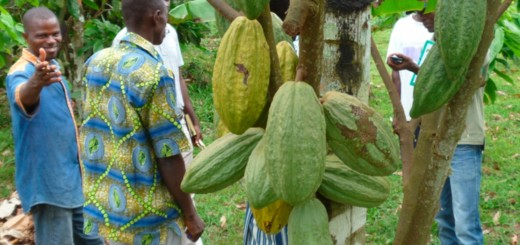Mr Germain Yao, left, and others admire healthy cocoa pods on grafted trees. Photo by Claude Adjehi/ICRAF