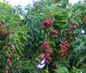 Litchi tree in fruit in Reunion - Photo by Parveen Anjarwalla/ICRAF