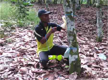 Refreshing cocoa farms can attract youth