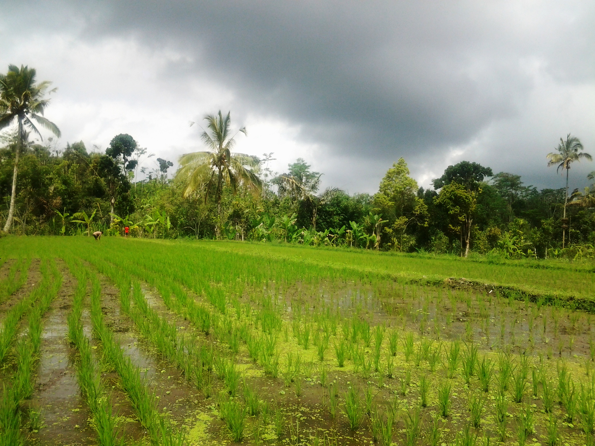Bali ricefields threatend by a new kind of storm