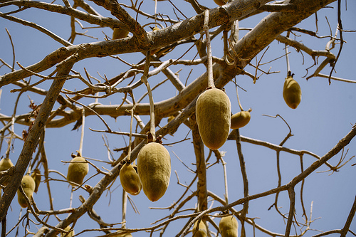 The little-understood indigenous African fruit trees