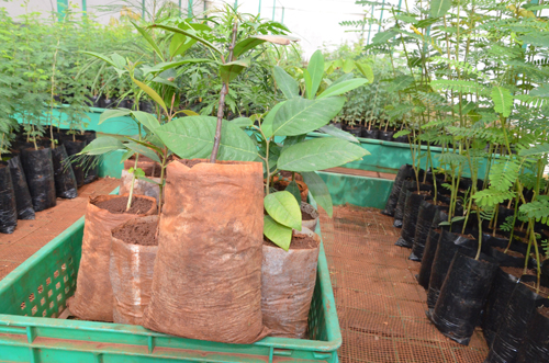 Biodegradable (centre) and polythene seedling bags (L&R). Photo by SherryOdeyo/ICRAF