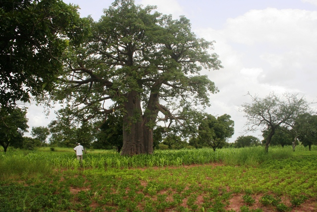 Boab-tree-and-crops-in-Burkina-Faso