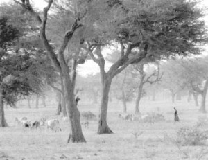 Cattle being herded through Faidherbia albida parklands in the Sahel. Photo: R. Faidutti.