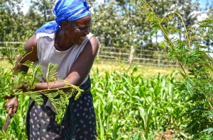 Rose Koech, a farmer in Bomet, Kenya, cuts calliandra shrub for her dairy cattle. She is a member of the East Africa Dairy Development Project. Photo by Sherry