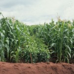 Inter-cropping maize and fertilizer trees. Photo credit: ICRAF.