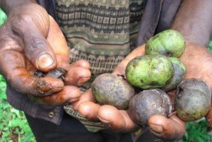 Njansang fruits