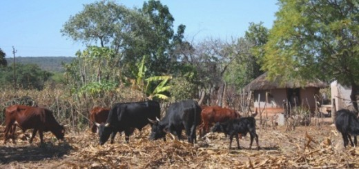 Cattle grazing maize residues after harvest in Zimbabwe