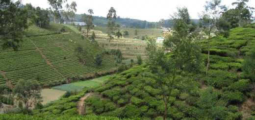 Landscape with Sri Lanka's famous Ceylon tea. Photo by Meine van Noordwijk/ICRAF. February 2014