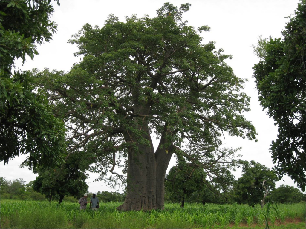 Parkland system in Burkina Faso with scattered trees and crops. Tree species such as néré, karité and baobab provide shade for crops, along with wood, leaf and fruit products. The baobab is a giant tree with a big trunk but relatively loose canopy.