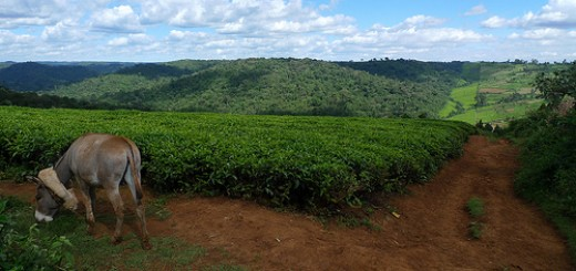 Looking out over tea fields to the Mau Forest. Photo courtesy of BBC World Service: One Planet via Flik.  http://bit.ly/1jM61cW