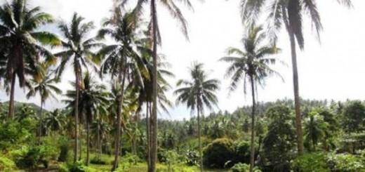 coconut agroforestry, Philippines