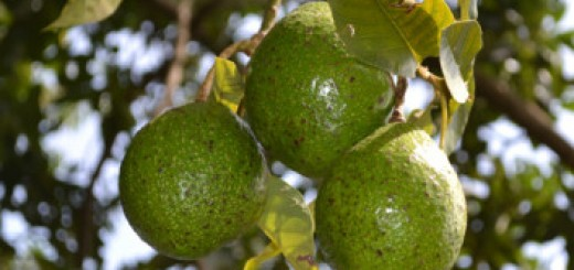 Avocado fruit tree