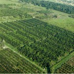 oil palm agroforestry system