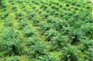 Oil palm monoculture. Photo by Moses Ceaser for CIFOR