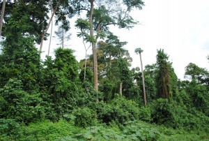 Native forestland in South-West Cote d'Ivoire. Photo by Emilie Smith/ICRAF