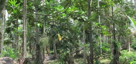 Agroforest on peat in Tanjung Jabung Barat