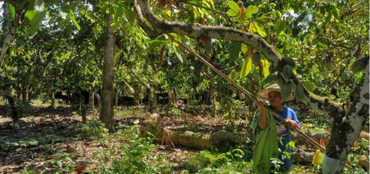 Female farmer in cocoa garden