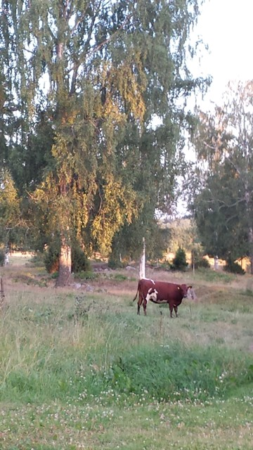 Swedish 'red' cow on birch pasture with juniper, wild raspberries.  On the plains in the background: modern ley that used to be oats, potato, rye.  Spruce forest in the far back. In front of them another wet pasture. Scientifically speaking, this is a segregated agroforestry farm. Photo: Elisabeth Simelton