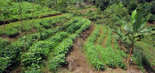 Young agroforest on sloping land