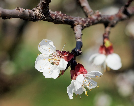 Why do some trees produce flowers before leaves unfold apricot flower photo hermann falknersoko mightylinksfo