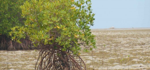 Coastal ecosystems are important to the Philippines, an archipelagic country of more than 7100 islands. Mangroves not only provide shelter against wind and wavesbut are also sources of food, fuel and income. Photo: World Agroforestry Centre/Amy Cruz