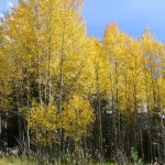 Aspen regenerating on the Wasatch Plateau Utah after a forest fire