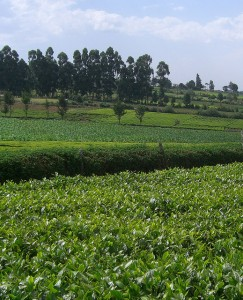 A mosaic of tea, maize and other annual crop production, eucalyptus woodlots and forest fragments comprises much of the Kericho landscape in Kenya. Photo by Mark Moroge