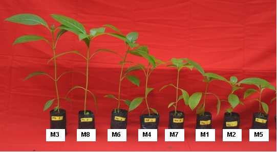 Performance of white jabon seedlings three months after transplanting