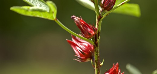 African orphan crop Hibiscus sabdariffa. Photo credit- www.motherearthliving.com