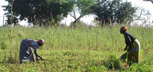Women collecting vegetable shoots from their garden in northern Benin. Along with the vegetables is maize plots surrounded by shea and acacia trees.  Photo by Grace B Villamor/ICRAF