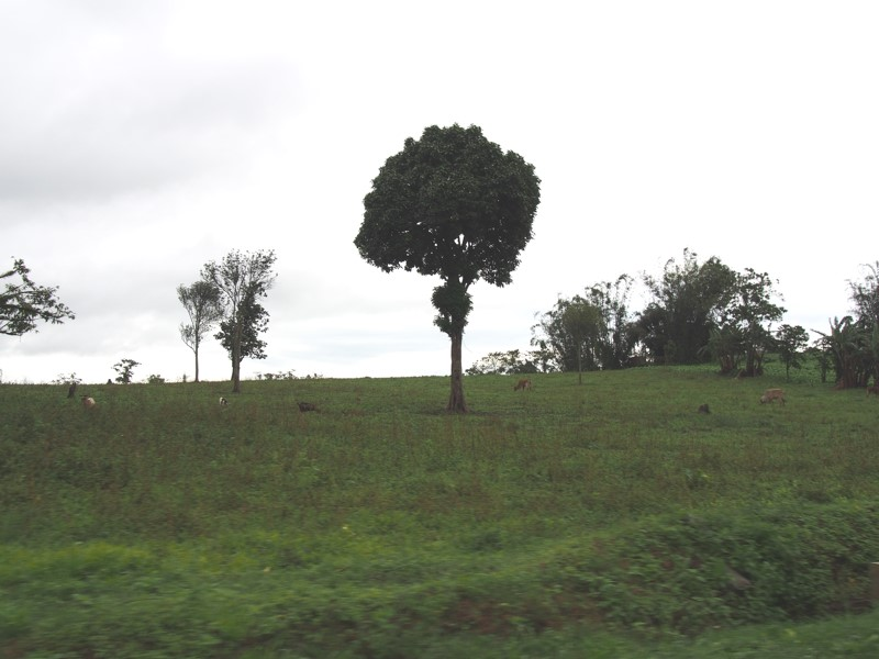 Trees, field, cow, Claveria, Philippines