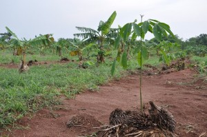 intercropping plaintain with rubber. Photo by Julius Atia/ICRAF