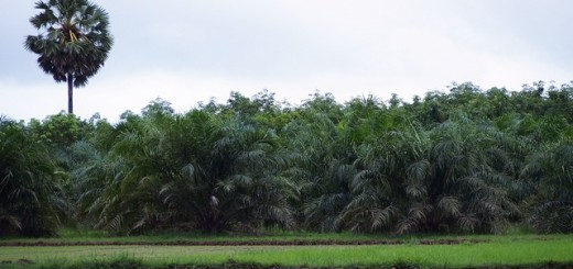 oil palm, rice field