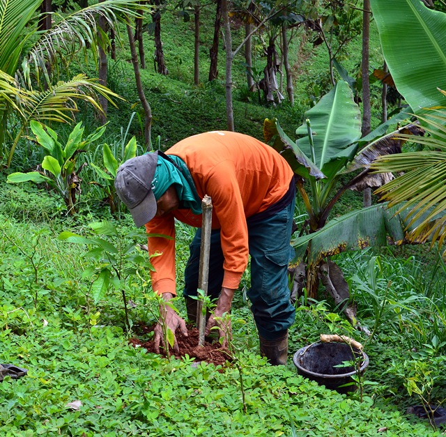 cocoa, tree, cacao, farmer, planting, Conservation Agriculture with Trees Center,Claveria, Philippines