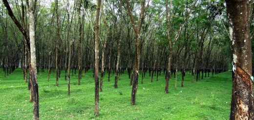 Forest or plantation? Rubber trees in central Vietnam.