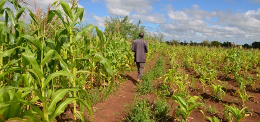 A farmer walks through his distinct gardens: the left side he had incorporated fertilizer tree biomass, Tephrosia, for three years and the right he is yet to start. He does not apply fertiliser nor does he use improved seed on either field. Photo by Godfrey Chisusu/ICRAF