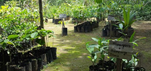 Seedlings of traditionally important food trees in Louis-Marie Atangana's home nursery in Nkenlikok, Cameroon. Photo by Daisy Ouya/ICRAF