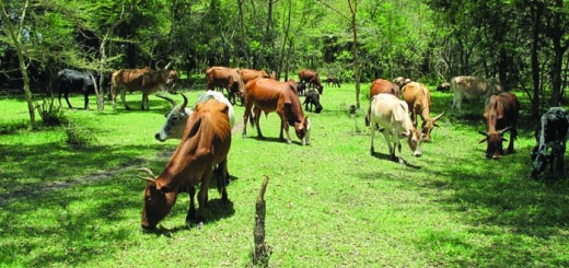 Livestock grazing in a restored Ngitili system in Tanzania. Photo by Lalisa A. Duguma/ICRAF