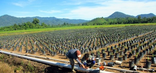 oil palm, seedlings, Sulawesi, Photo Nichola Mitakda