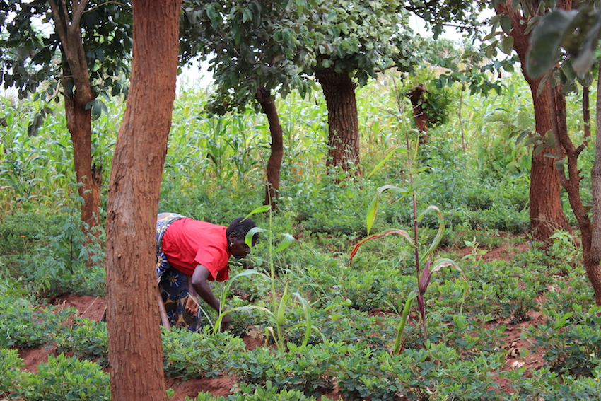 Mrs Zabeta Elisa tends to her groundnuts growing under farmer-regenerated trees in Kwendaguwo village in Malawi. Photo by D. Ouya/ICRAF