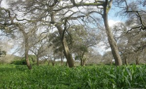 Maize growing under fertilizer tree. Photo: ICRAF