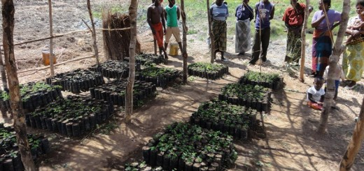 Research in Malawi shows that farmers are aware of the potential benefits of planting trees yet agroforestry adoption rates in the country are reported to be relatively low. Photo: Seline Meijer