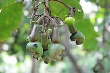 Cashew apple and nut
