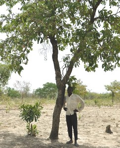Diasso Inousa standing next to a Shea tree on his farm in Cassou, Burkina Faso. Photo Susan Onyango/ICRAF