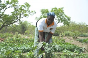 Diasso Djalia, tending vegetables at a BIODEV project site in Cassou, Burkina Faso. Photo Susan Onyango/ICRAF